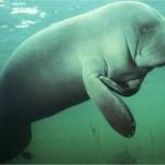 manati bajo el agua